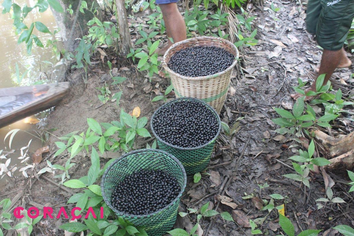 acai cultivo ecologico